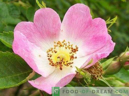 Dzika róża - leczniczy rosół